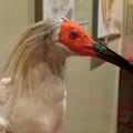 名古屋市科学館「絶滅動物研究所」展 No - 68:トキの剥製