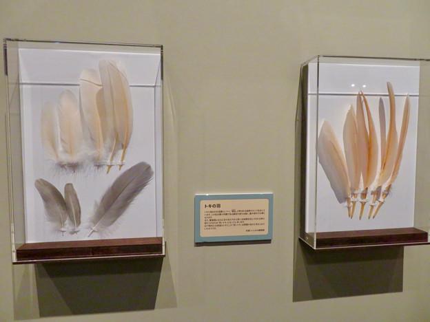 名古屋市科学館「絶滅動物研究所」展 No - 70:トキの羽