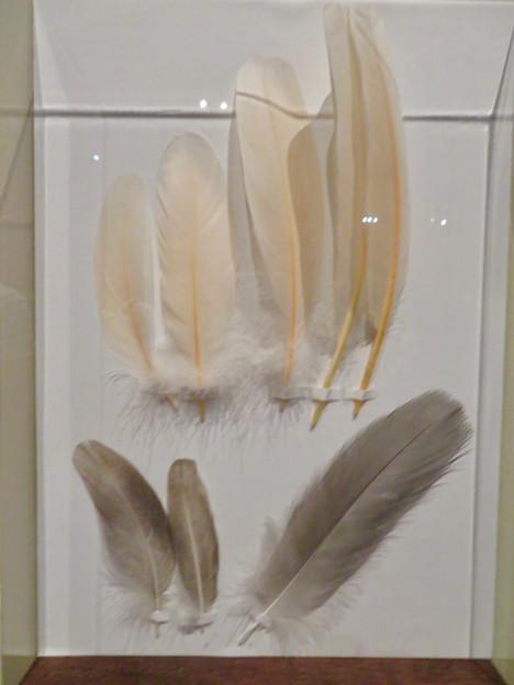 名古屋市科学館「絶滅動物研究所」展 No - 71:トキの羽