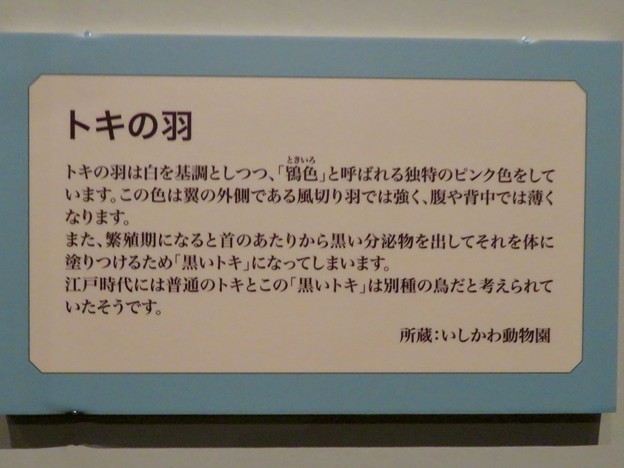 名古屋市科学館「絶滅動物研究所」展 No - 73:トキの羽の説明(繁殖期に黒くなる!?)