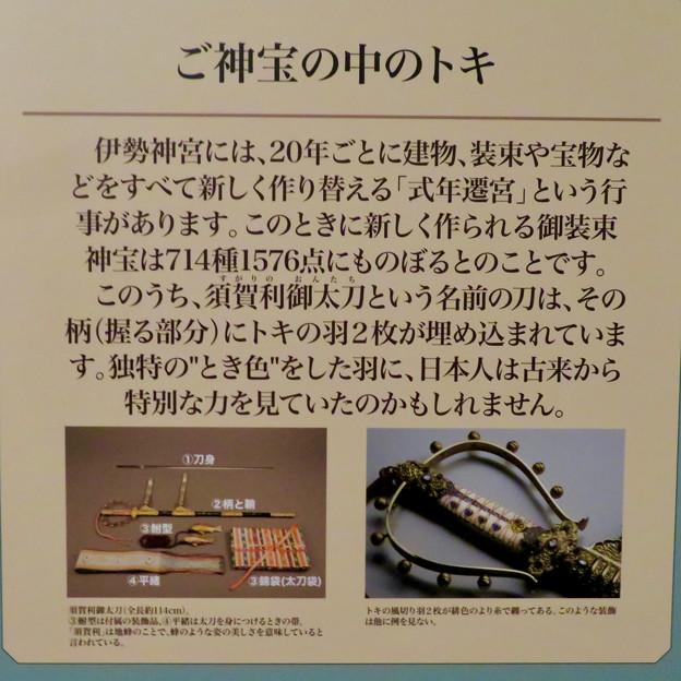 名古屋市科学館「絶滅動物研究所」展 No - 75:伊勢神宮の宝物に使われてるトキの羽
