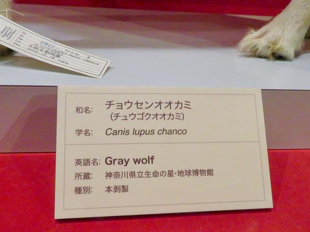 名古屋市科学館「絶滅動物研究所」展 No - 83:ニホンオオカミのコーナーに展示されてたチョウセンオオカミの剥製(説明)
