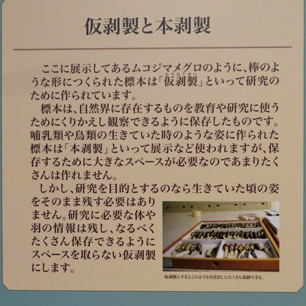 名古屋市科学館「絶滅動物研究所」展 No - 97:仮剥製と本剥製について