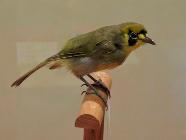 名古屋市科学館「絶滅動物研究所」展 No - 99:ハハジマメグロの剥製(本剥製)