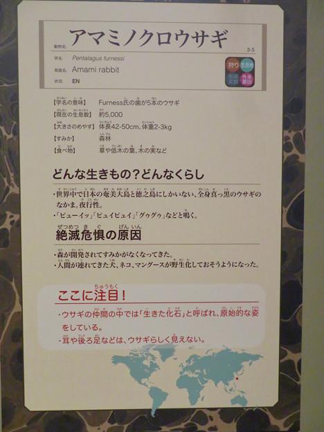 名古屋市科学館「絶滅動物研究所」展 No - 94:アマミノクロウサギの説明