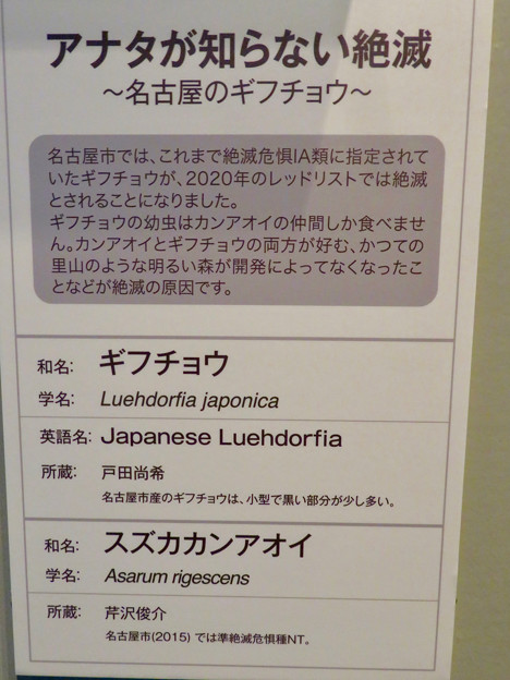 Photos: 名古屋市科学館「絶滅動物研究所」展 No - 116:ギフチョウの説明