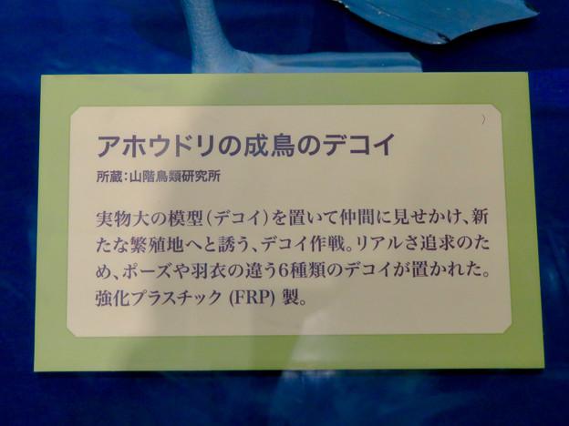 名古屋市科学館「絶滅動物研究所」展 No - 125:アホウドリ復活プロジェクトで用いられた模型(デコイ)の説明