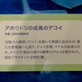 Photos: 名古屋市科学館「絶滅動物研究所」展 No - 125:アホウドリ復活プロジェクトで用いられた模型(デコイ)の説明