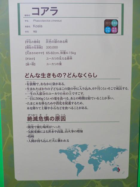 名古屋市科学館「絶滅動物研究所」展 No - 129:コアラの説明