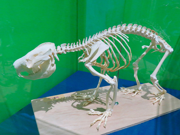名古屋市科学館「絶滅動物研究所」展 No - 130:コアラの骨格標本