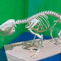 Photos: 名古屋市科学館「絶滅動物研究所」展 No - 130:コアラの骨格標本