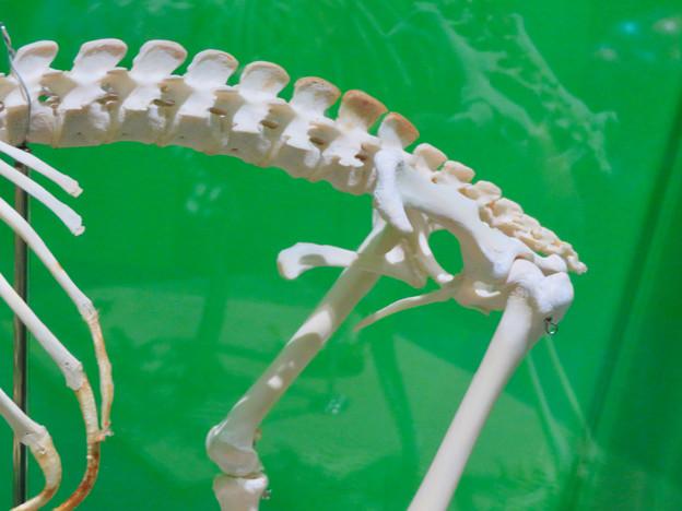 名古屋市科学館「絶滅動物研究所」展 No - 131:コアラの骨格標本(袋のある部分)