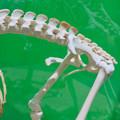 Photos: 名古屋市科学館「絶滅動物研究所」展 No - 131:コアラの骨格標本(袋のある部分)