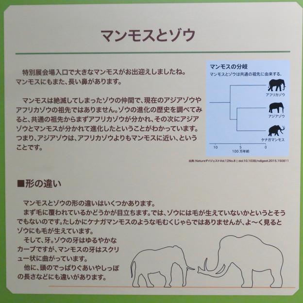 名古屋市科学館「絶滅動物研究所」展 No - 133:マンモスとゾウの違い
