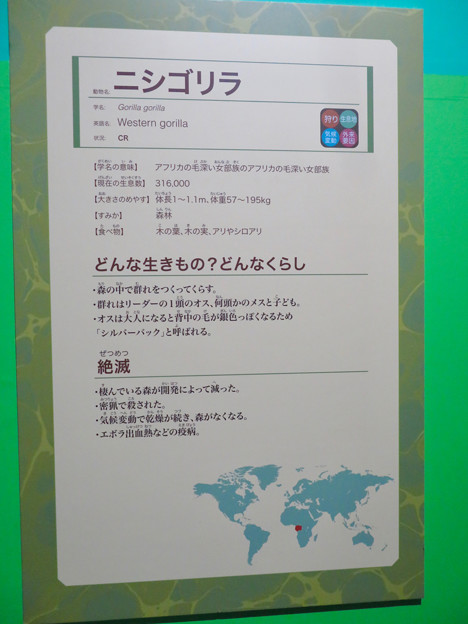名古屋市科学館「絶滅動物研究所」展 No - 138:ニシゴリラの説明