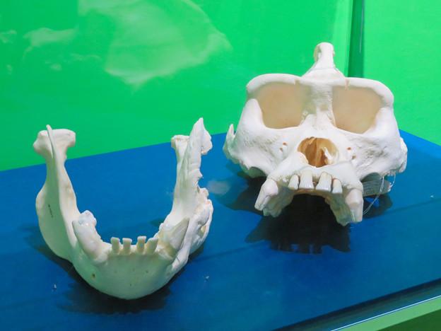 名古屋市科学館「絶滅動物研究所」展 No - 139:ニシゴリラの骨