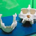 Photos: 名古屋市科学館「絶滅動物研究所」展 No - 139:ニシゴリラの骨