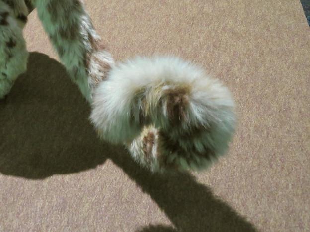 名古屋市科学館「絶滅動物研究所」展 No - 144:ユキヒョウの剥製(可愛らしく丸まったシッポ)