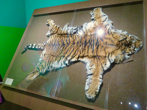 名古屋市科学館「絶滅動物研究所」展 No - 146:スマトラトラの皮
