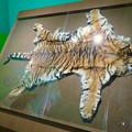 Photos: 名古屋市科学館「絶滅動物研究所」展 No - 146:スマトラトラの皮