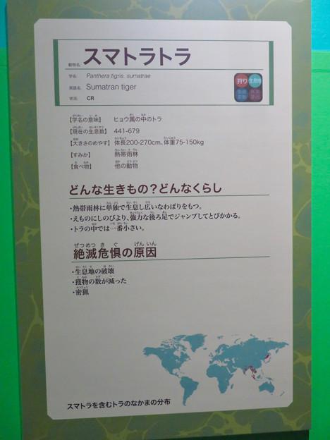 名古屋市科学館「絶滅動物研究所」展 No - 147:スマトラトラの説明