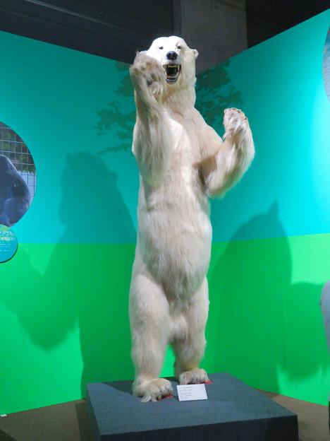 名古屋市科学館「絶滅動物研究所」展 No - 149:ホッキョクグマの剥製