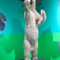 Photos: 名古屋市科学館「絶滅動物研究所」展 No - 149:ホッキョクグマの剥製