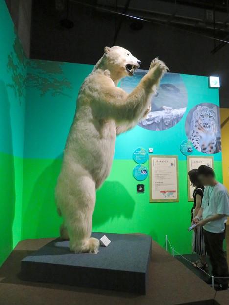 名古屋市科学館「絶滅動物研究所」展 No - 150:ホッキョクグマの剥製