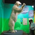 Photos: 名古屋市科学館「絶滅動物研究所」展 No - 150:ホッキョクグマの剥製