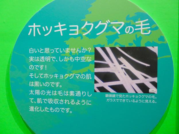 名古屋市科学館「絶滅動物研究所」展 No - 152:ホッキョクグマの毛の説明(実は透明)