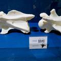 Photos: 名古屋市科学館「絶滅動物研究所」展 No - 160:アミメキリンの骨(頚椎)