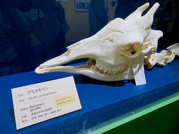 名古屋市科学館「絶滅動物研究所」展 No - 161:アミメキリンの骨(頭部)