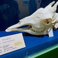 Photos: 名古屋市科学館「絶滅動物研究所」展 No - 161:アミメキリンの骨(頭部)