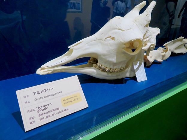 Photos: 名古屋市科学館「絶滅動物研究所」展 No - 162:アミメキリンの骨(頭部)