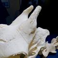 名古屋市科学館「絶滅動物研究所」展 No - 163:アミメキリンの骨(角の部分)