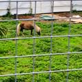 Photos: 春日井市出川町:放牧されてたポニー - 1