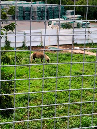 春日井市出川町:放牧されてたポニー - 2