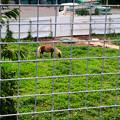 Photos: 春日井市出川町:放牧されてたポニー - 2