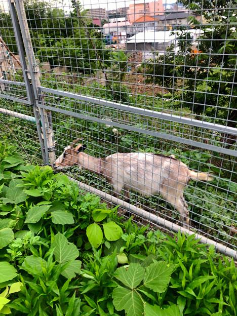 春日井市出川町:放牧されてたヤギ