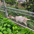 Photos: 春日井市出川町:放牧されてたヤギ