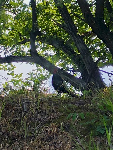 木陰で休んでた?キジ - 2