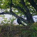Photos: 木陰で休んでた?キジ - 2