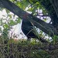 Photos: 木陰で休んでた?キジ - 3