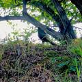 Photos: 木陰で休んでた?キジ - 5