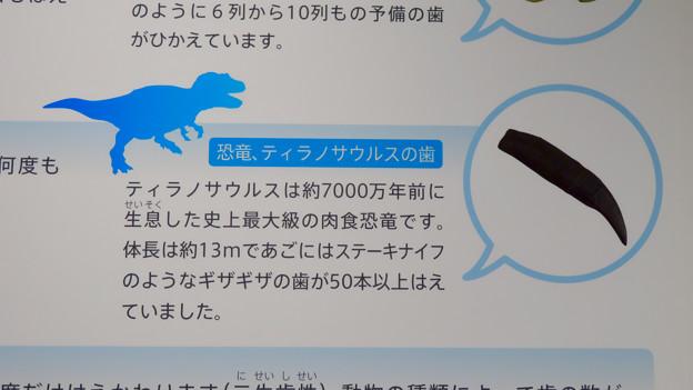 愛知県歯科医師会館「歯の博物館」No - 50:ティラノサウルスの歯の説明