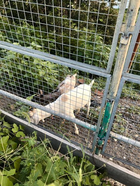 春日井市出川町:放牧されてるヤギ