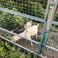Photos: 春日井市出川町:放牧されてるヤギ