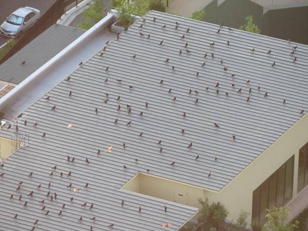 上から見るとアリの様にカラスが集まっていた、夕暮れ時のゴリラ・チンパンジー舎の屋根の上 - 2