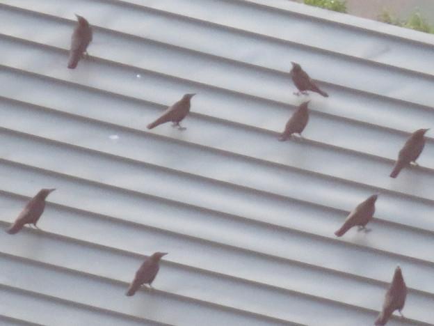 上から見るとアリの様にカラスが集まっていた、夕暮れ時のゴリラ・チンパンジー舎の屋根の上 - 3