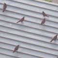 Photos: 上から見るとアリの様にカラスが集まっていた、夕暮れ時のゴリラ・チンパンジー舎の屋根の上 - 3